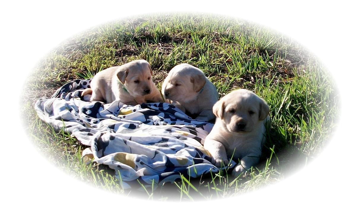 Montana's 4wk old lab pups Montanas_4wks